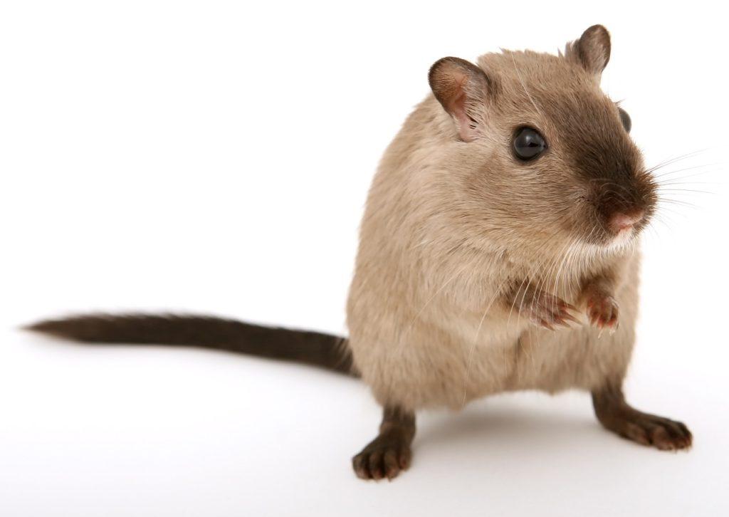 עכבר - תמונה